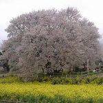 一心行の大桜の写真